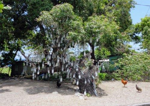 Tolfalas - Bottle Tree, St Kitts