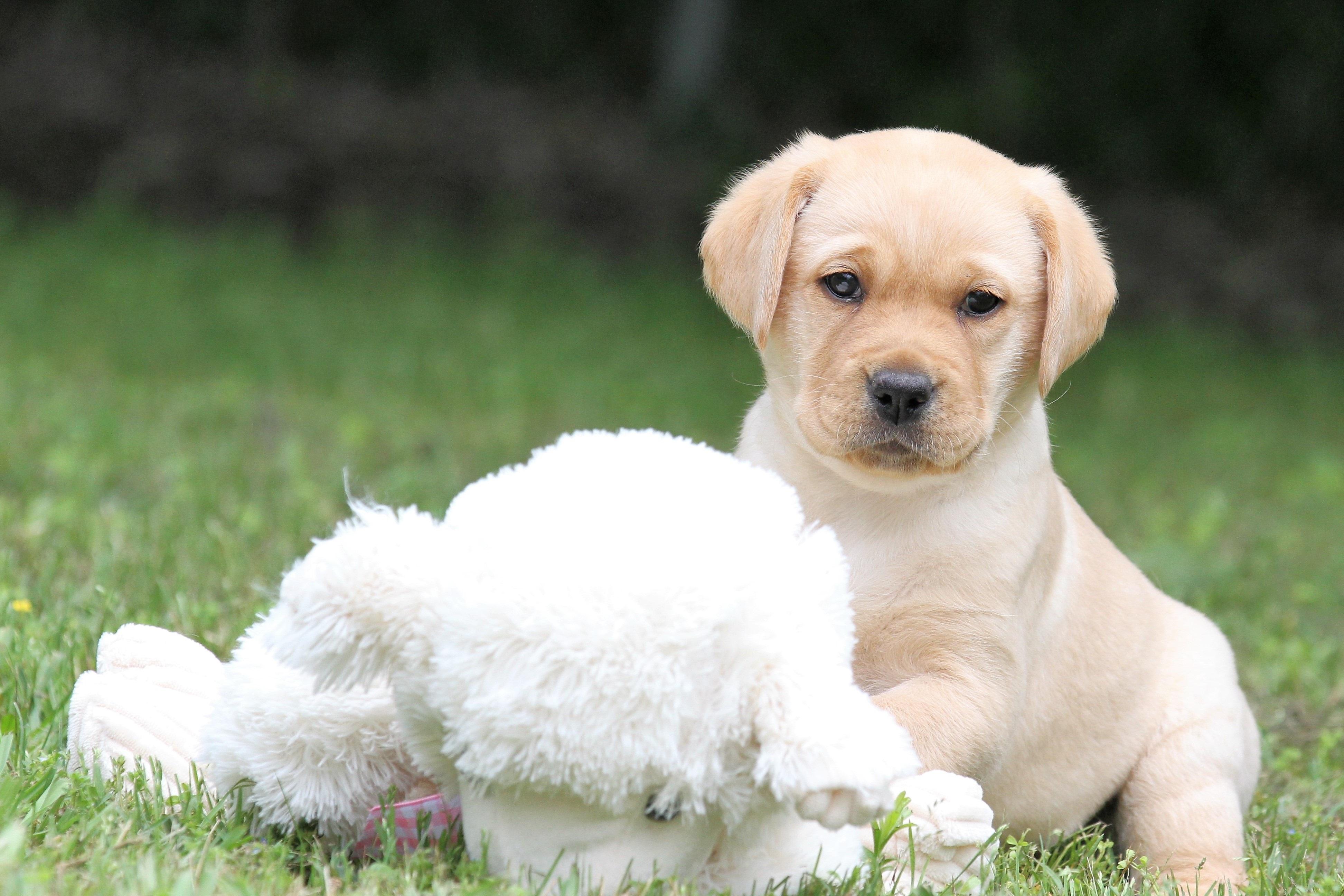 labrador-puppy-miss-purple