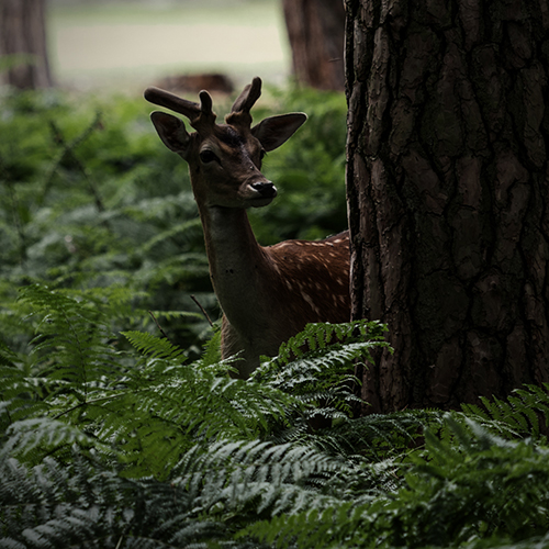 The Shy Deer
