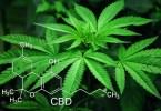 Foglie di cannabis