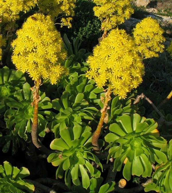 Pianta Grassa Con Fiori Gialli.10 Meravigliose Piante Grasse Guida Giardino