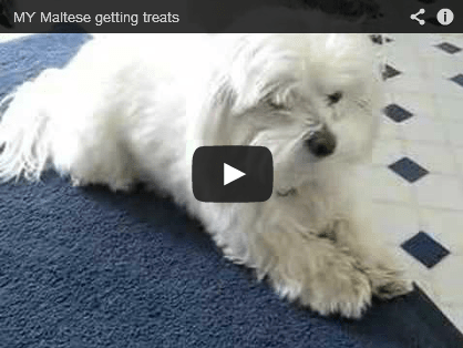 How to Teach Your Maltese Tricks