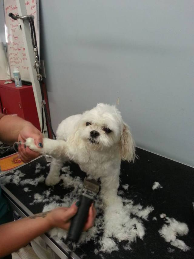 Maltese dogs haircut