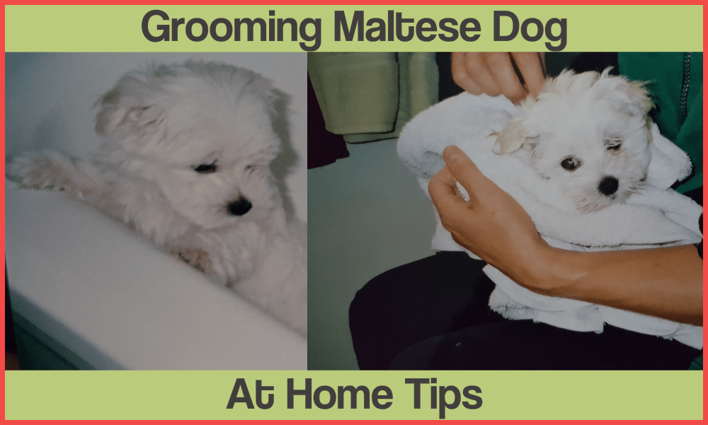 How To Groom Your Maltese Dog at Home Video