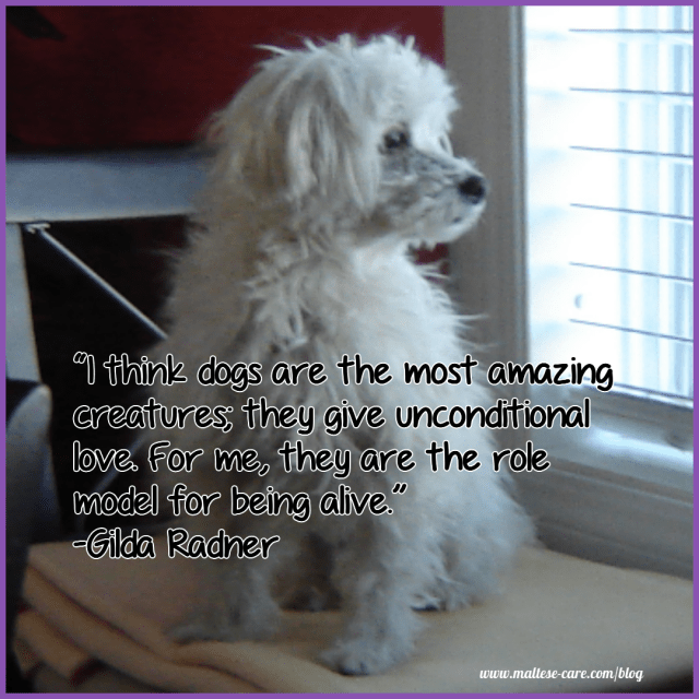 Maltese Dogs Quotes To Make You Smile - Maltese Dog Care Blog