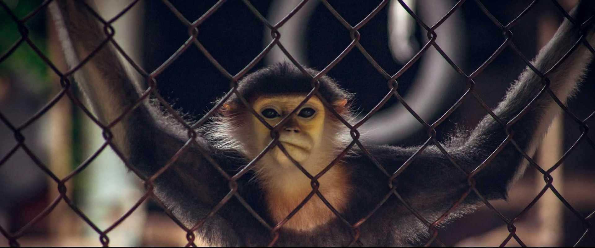 hayvanat bahçesi maymun