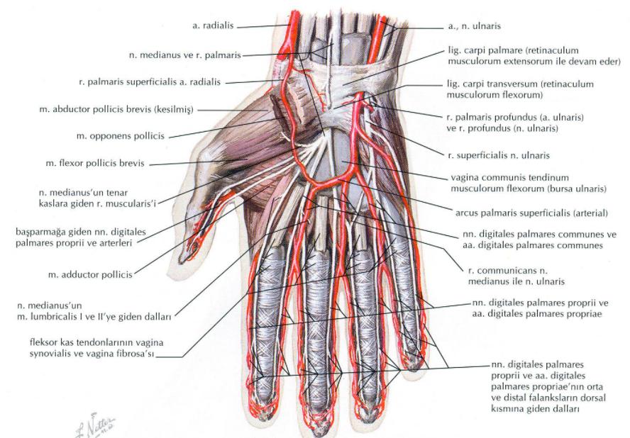 elin arter ve sinirleri