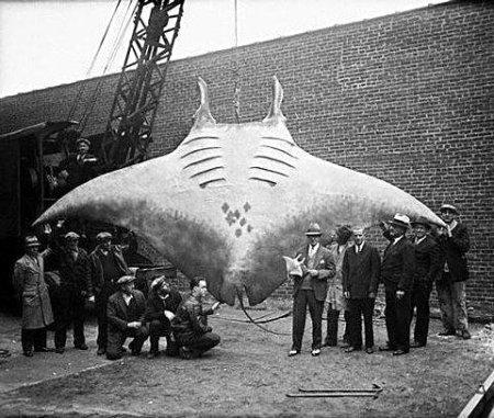 Yakalanan dev manta balığına ait olduğu iddia edilen fotoğraf
