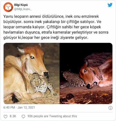 yavru leopar ve inek hikayesi