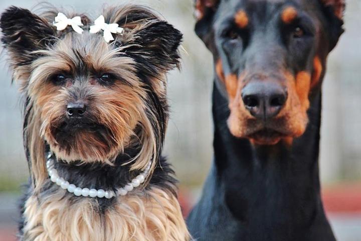 Jak rozpocząć hodowlę psów rasowych?
