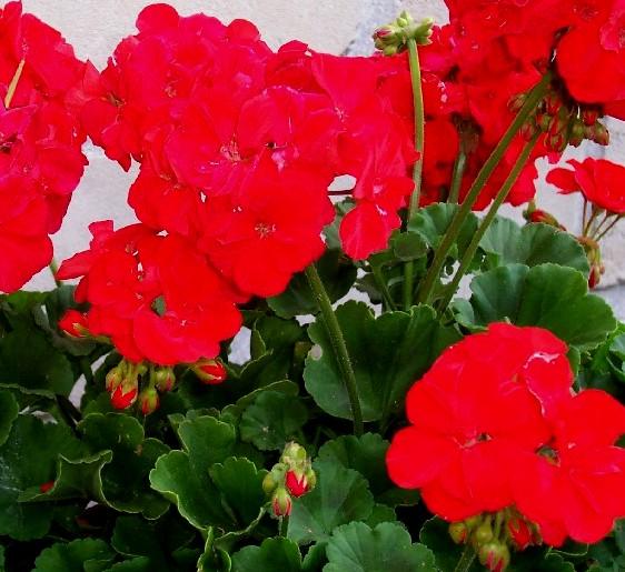 geranium-rouge