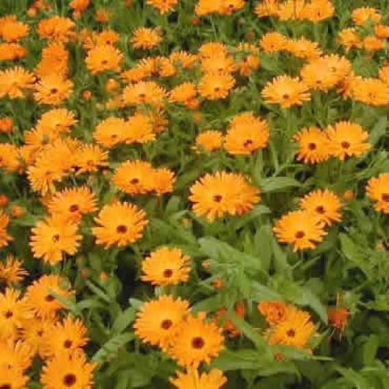 Calendula or Pot Marigold