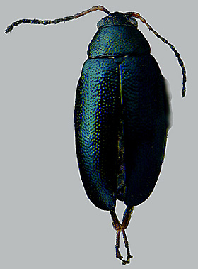 Crucifer Flea Beetles