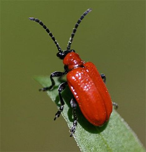 Red Lilly Leaf Beetle