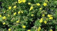 plantings_potentilla.jpg