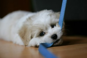 Puppy Chewing Leash