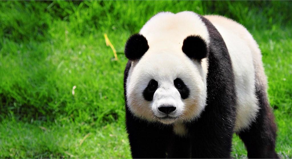 Aniversário Panda