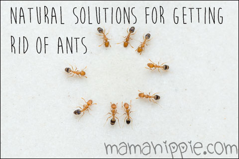 Natural solutions for getting rid of ants. No kill!