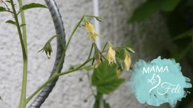 Paradeiserblüte