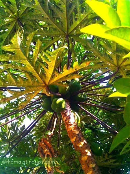 low hanging papaya picked4