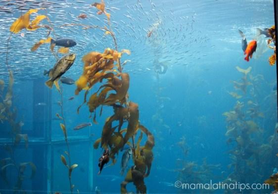 Monterey Aquarium, kelp - mamalatinatips.com