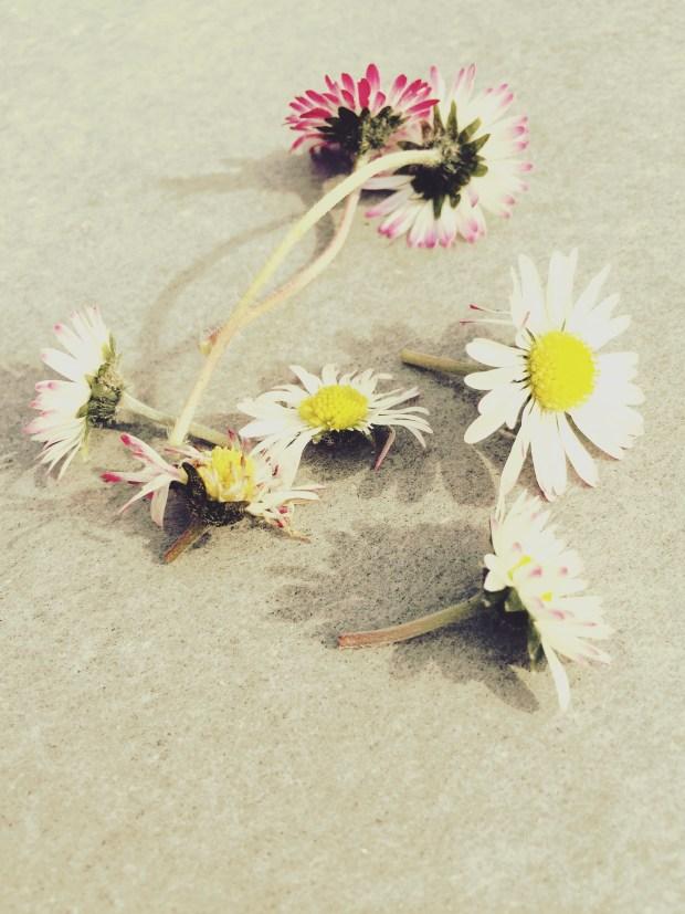 Das Gänseblümchen - ein Allheilmittel zu unseren Füssen