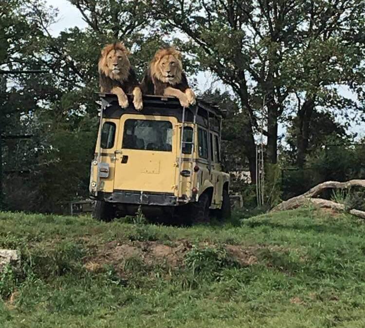 Zooparc Overloon; dierentuin waar dieren los lopen