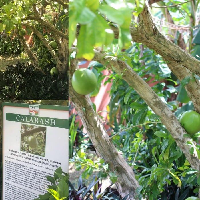 calabash in jamaica
