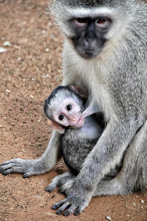grivet-monkey-580791_960_720
