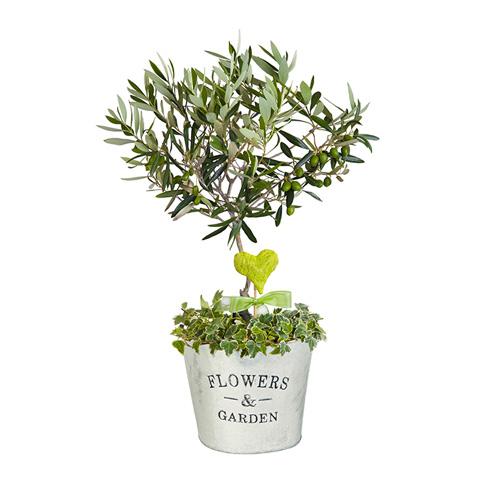 olivier-en-pot
