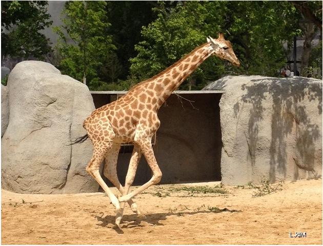 girafe_vincennes