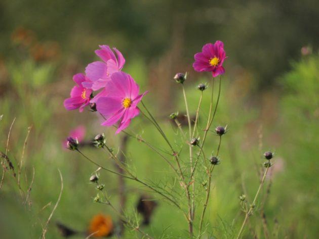 petites fleurs dans les vignes