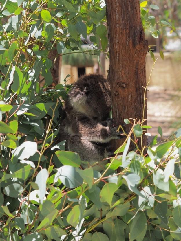 voir des koalas en Australie