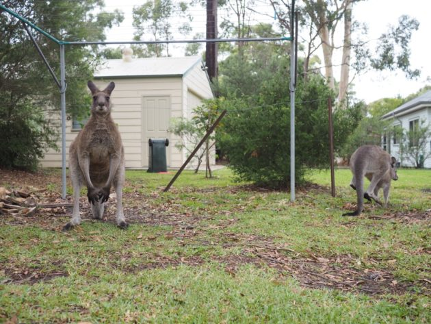 kangourou à Jervis Bay