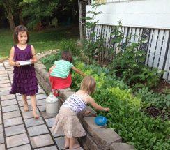 Girls gathering lettuce