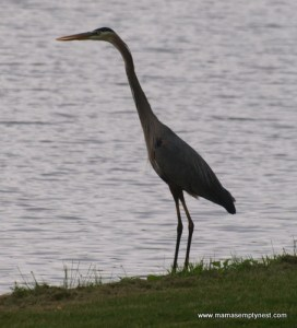 Great Blue Heron May 2013