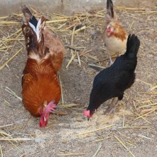 chickens, lifecycle