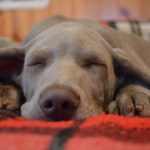 5 Tips to Keeping Your Home Clean If You Have Dogs