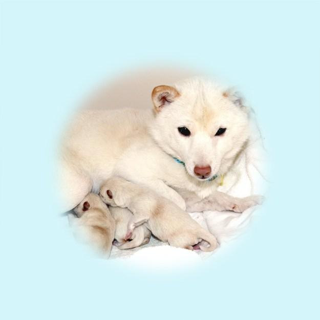 極小豆柴母犬 ノエルちゃん