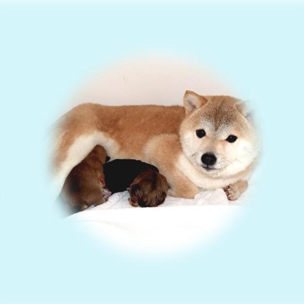 極小豆柴母犬 マオちゃん