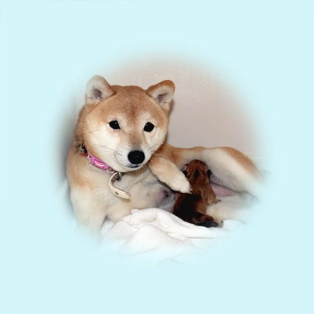 極小豆柴母犬 うことちゃん