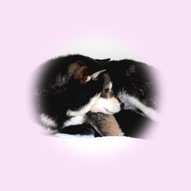 極小豆柴母犬 ワラビちゃん