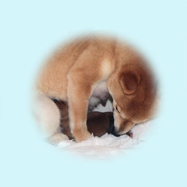 豆柴母犬 ソルトちゃん