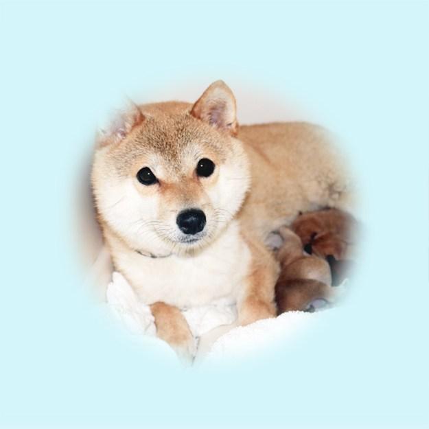 極小豆柴母犬 フムちゃん