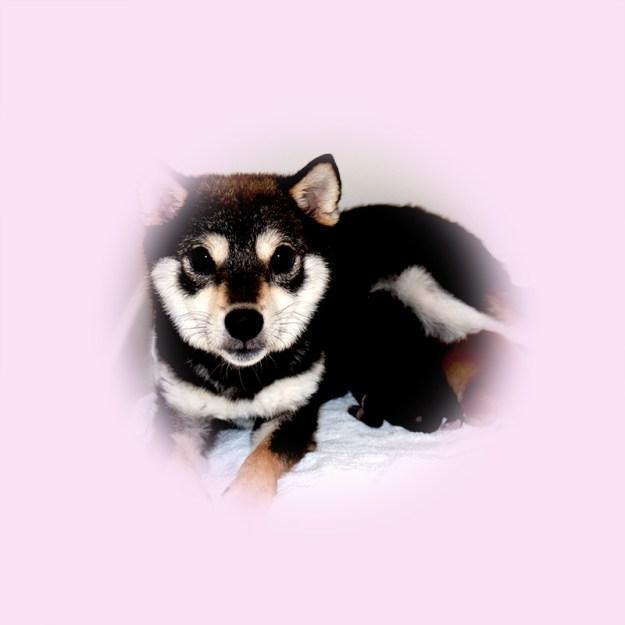 極小豆柴母犬 ベガちゃん