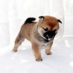 極小豆柴母犬 ままろちゃんの子b