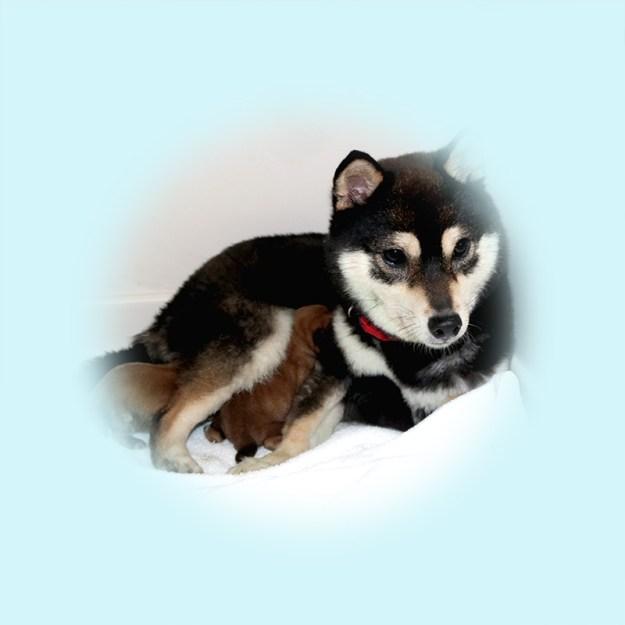豆柴母犬 コナンちゃん