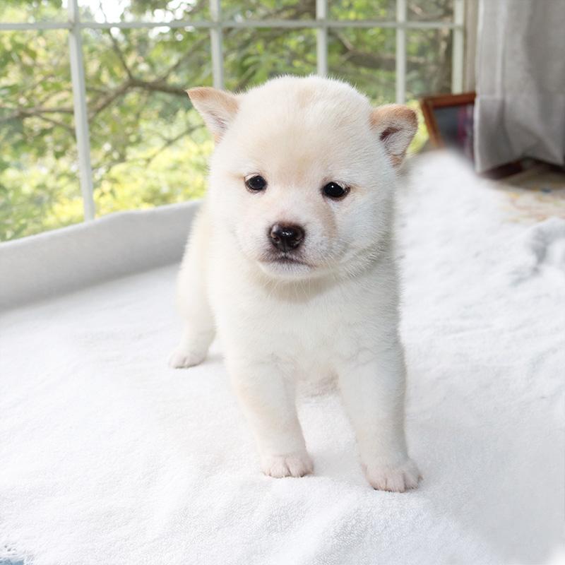 極小豆柴母犬 ノリコちゃんの子a
