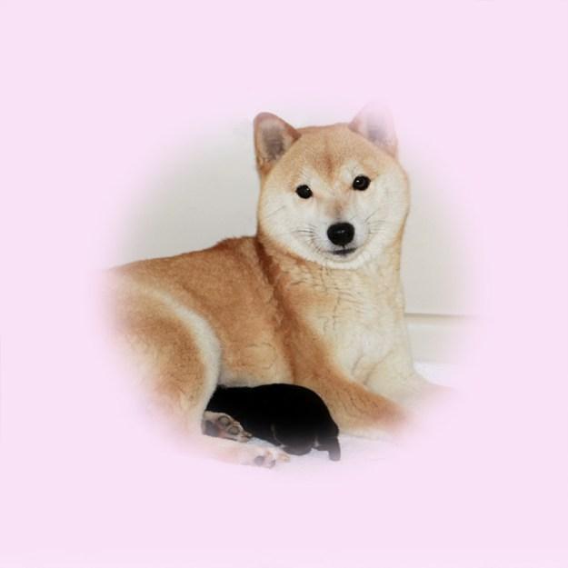 極小豆柴母犬 ナオちゃん