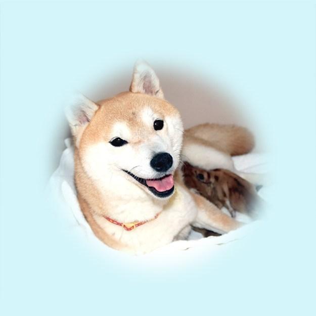 極小豆柴母犬 モナカちゃん